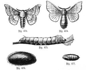 Seidenspinner (Bombyx mori): Männchen, Weibchen, Raupe, Kokon, Puppe